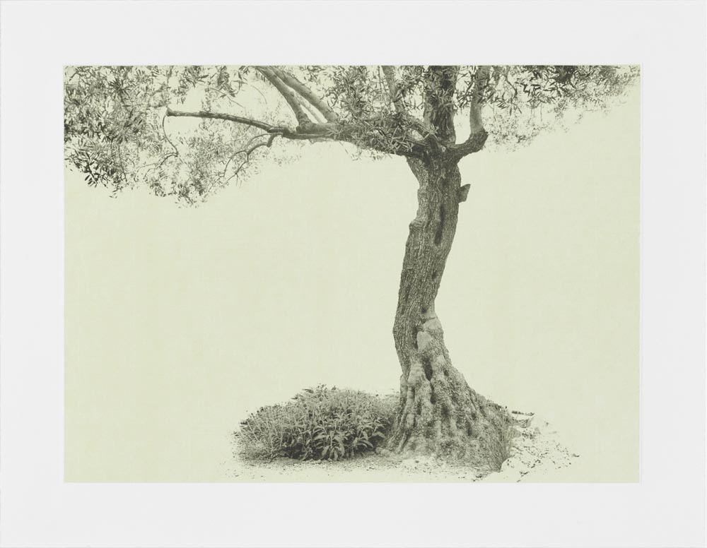 """Gethsemane 1"", Project: Every Olive Tree in the Garden of Gethsemane, © Wendy Babcox, Tampa, FL, Center — Review Santa Fe 2017"