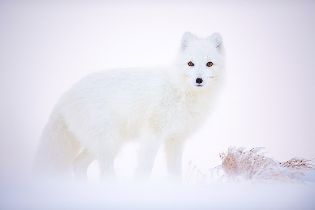 Arctic Fox, © Arnfinn Johansen, Animals, CEWE Photo Award