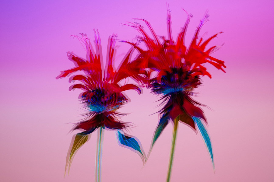 © Heather Bragman, Bee Balm, Photography 24 x 20, The Chelsea International Photography Competition