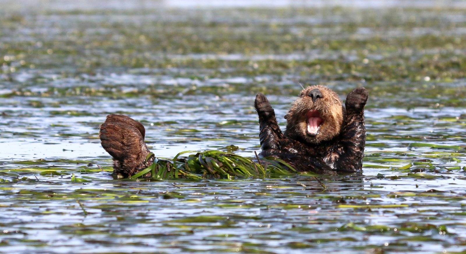"""Cheering-sea-otter"", © Penny Palmer, Highly Commended, Comedy Wildlife Photography Awards"