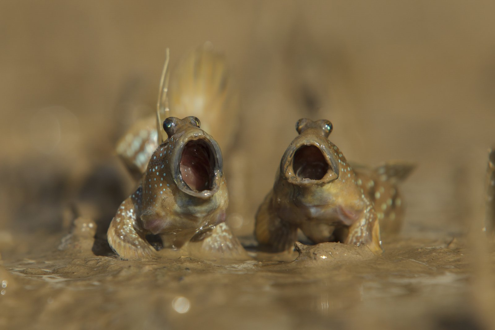 """Mudskippers Got Talent"", © Daniel Trim, Highly Commended, Comedy Wildlife Photography Awards"