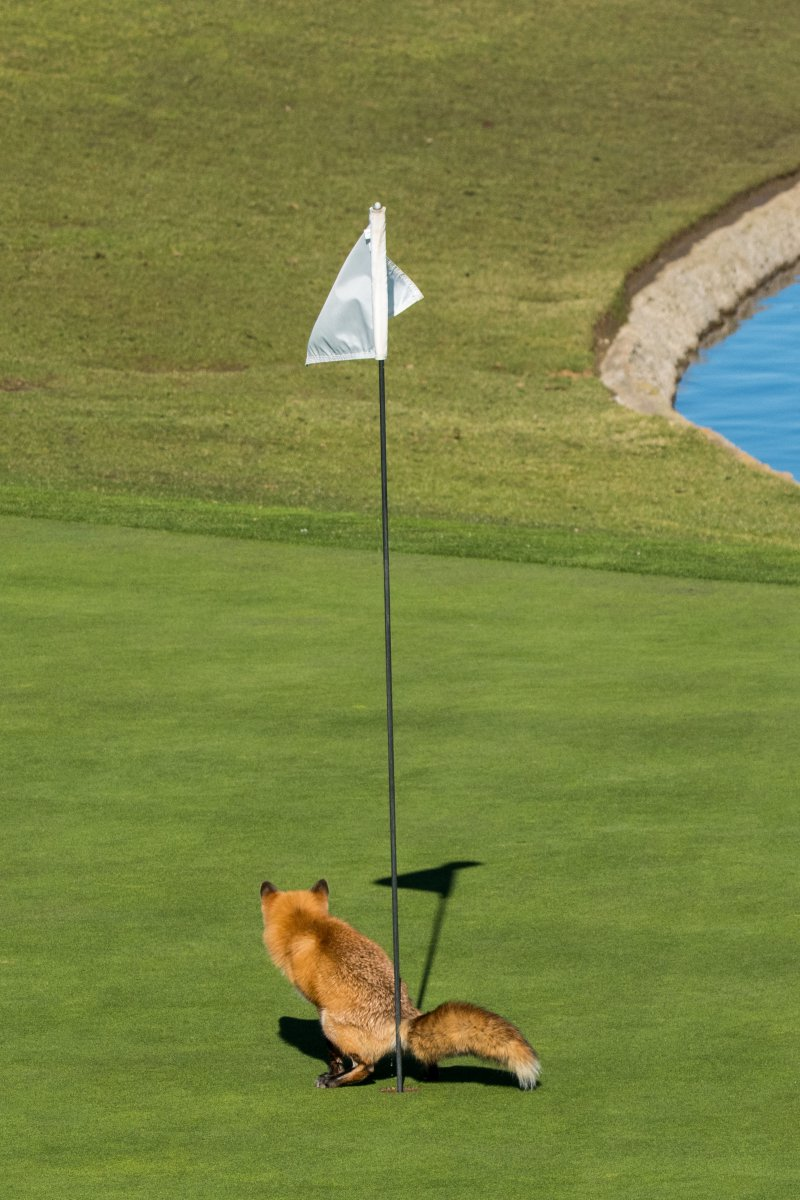 """Must Have Three-putted"", © Douglas Croft, Highly Commended, Comedy Wildlife Photography Awards"