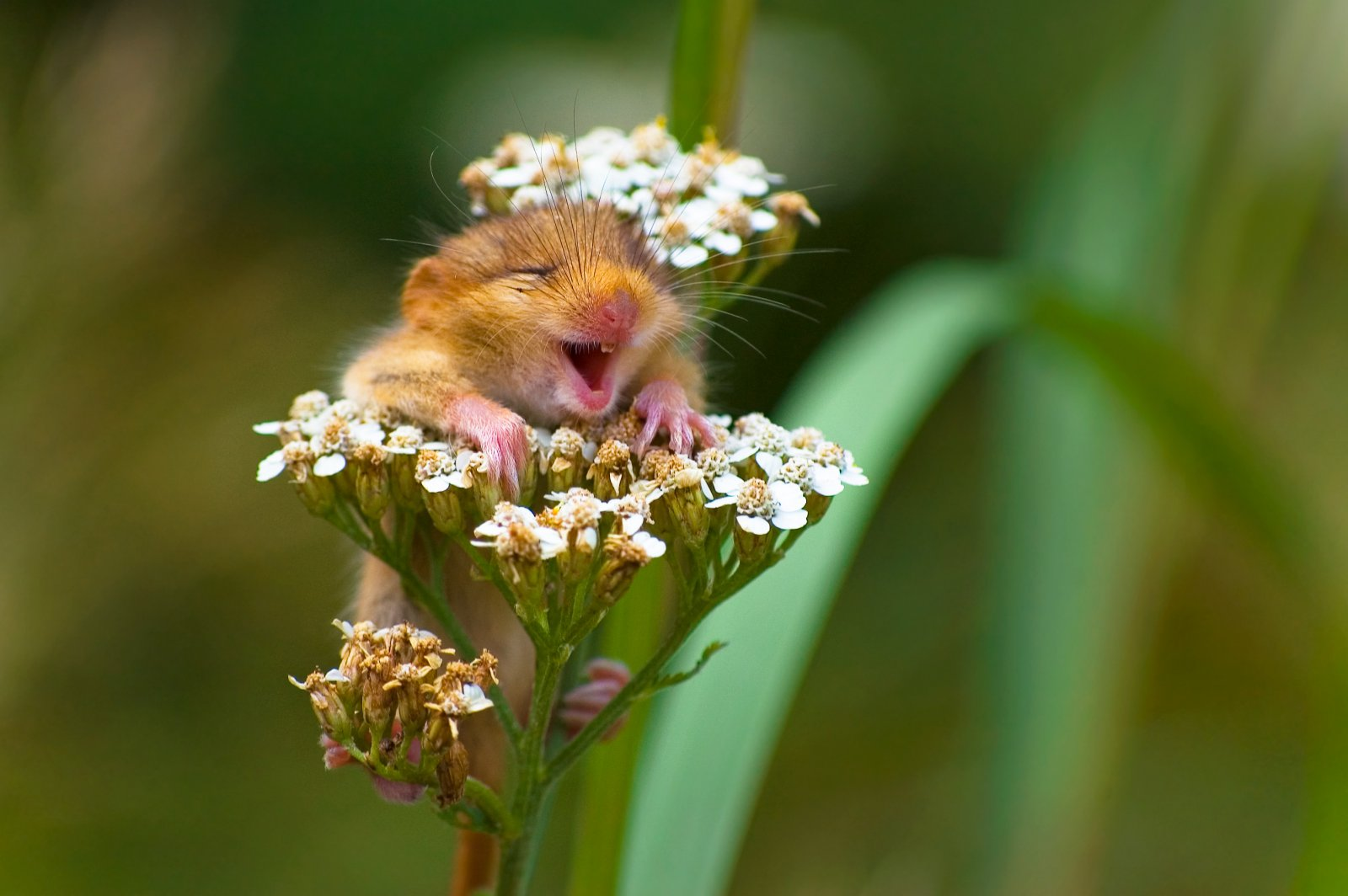 """The Laughing Dormouse"", © Andrea Zampatti, Winner of the Alex Walker's Serian On The Land category, Comedy Wildlife Photography Awards"