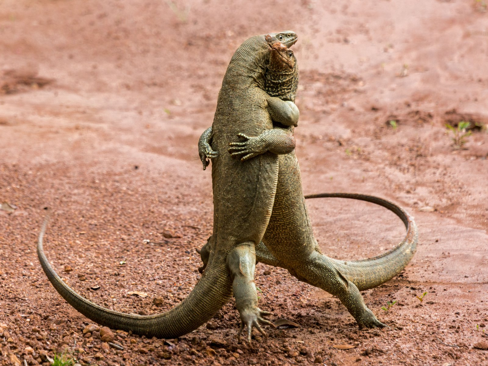 Martian Tango, © Sergey Savvi, Highly Commended, Comedy Wildlife Photography Awards