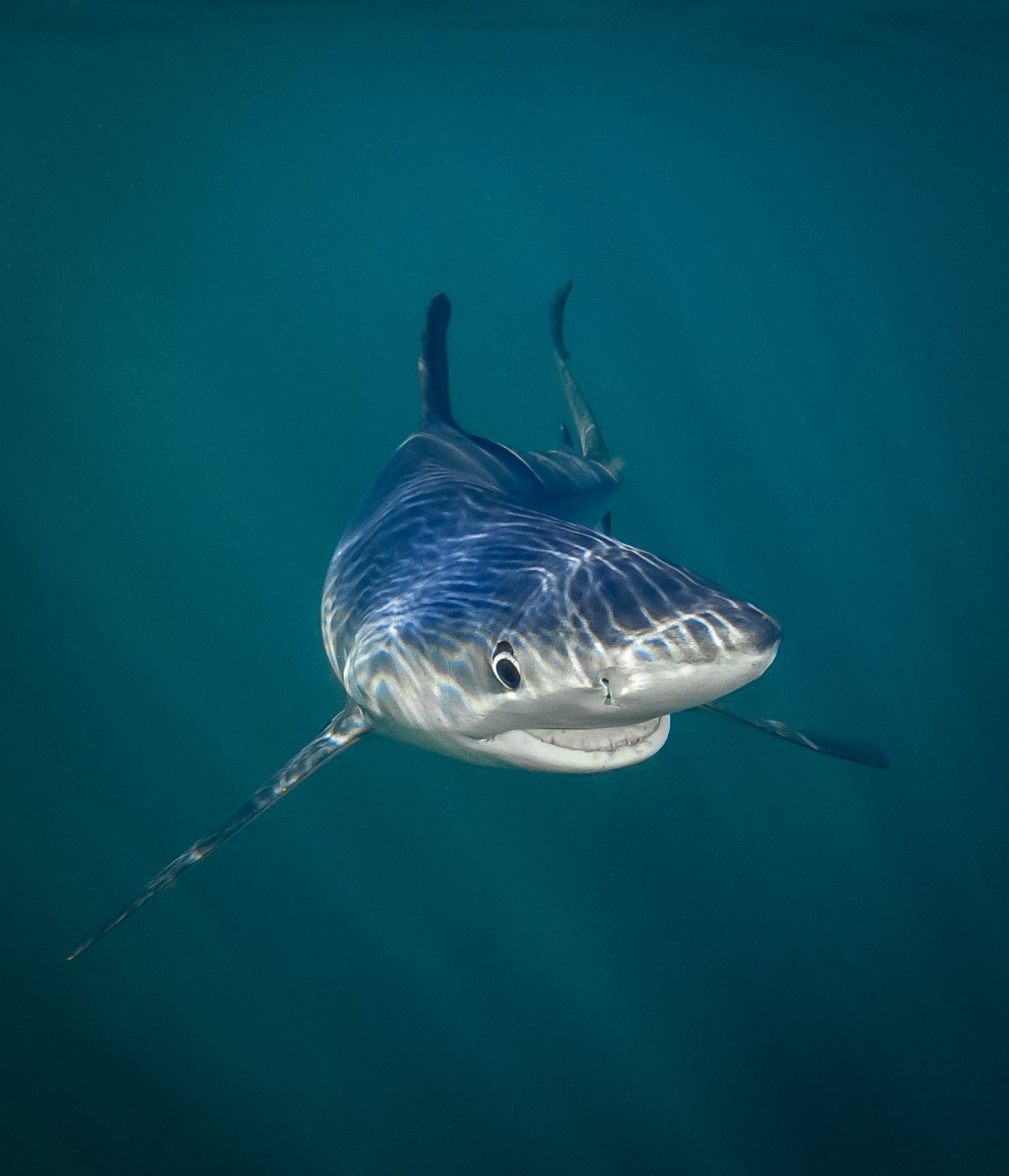 Smiling Blue Shark, © Tanya Houppermans, Under the Sea Category Winner, Comedy Wildlife Photography Awards