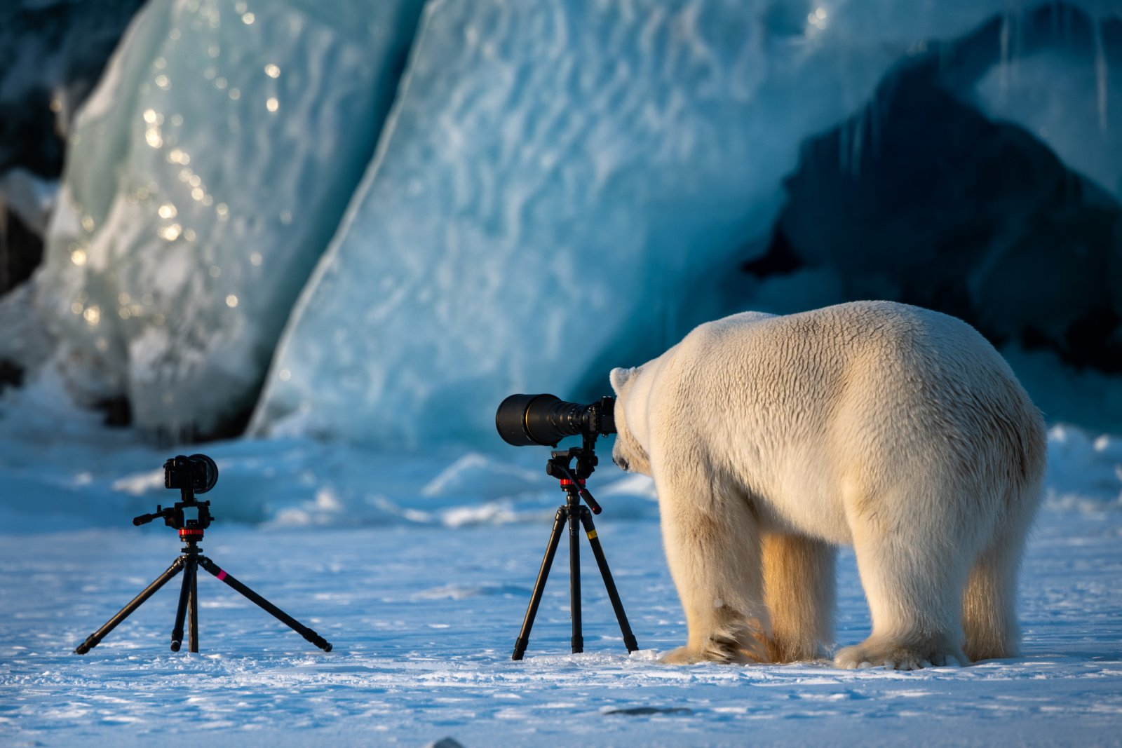 Wildlife PhotograBear, © Roie Galitz, Highly Commended, Comedy Wildlife Photography Awards