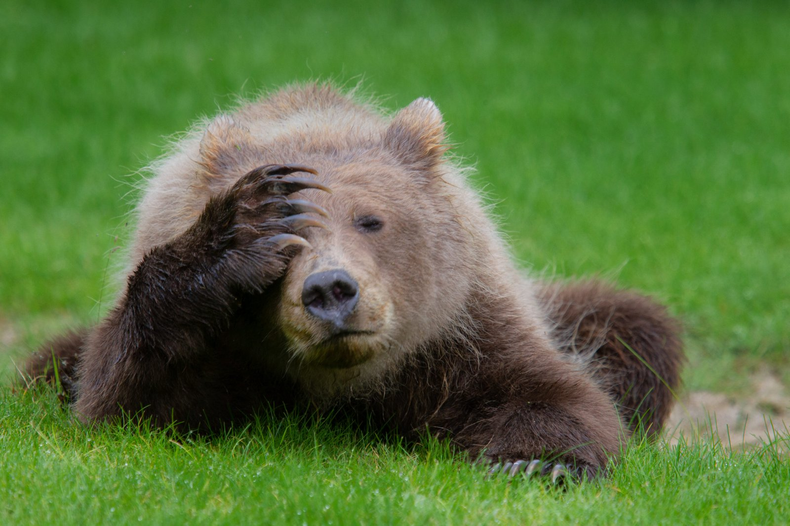 Coastal Brown Bear Cub with a Headache, © Danielle D'Ermo, Highly Commended, Comedy Wildlife Photography Awards