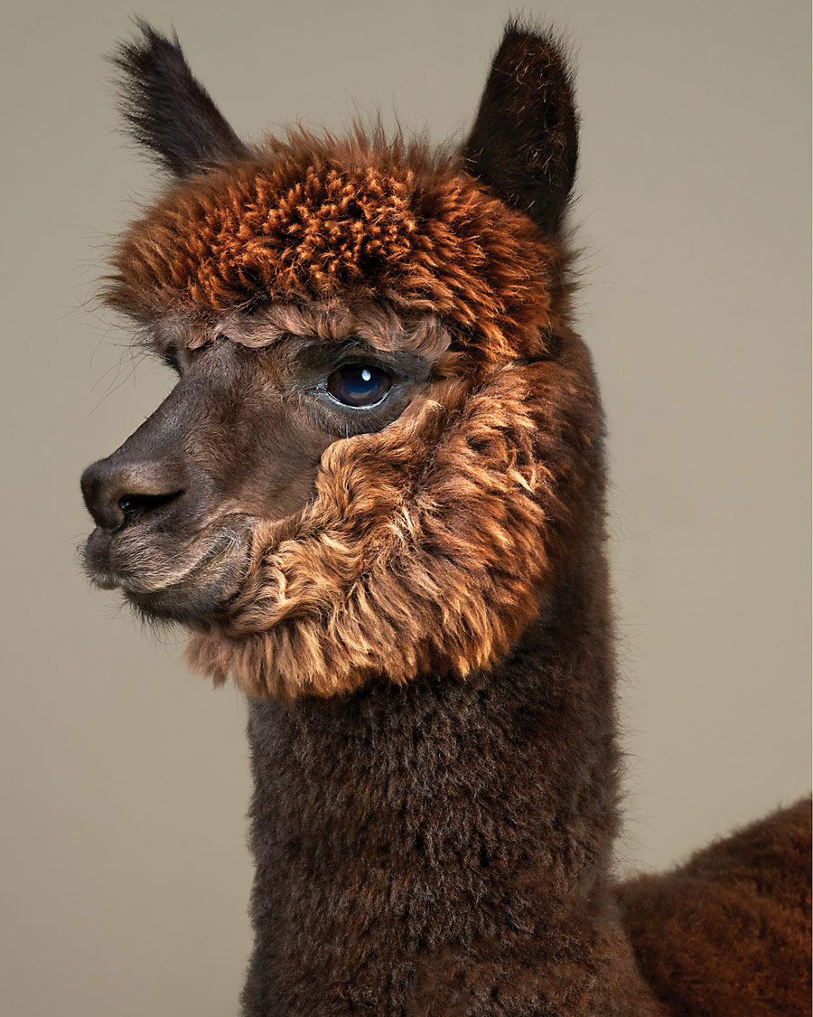 Rah the Alpaca, Photography / For Sale / Art/Design, Communication Arts Photography Competition