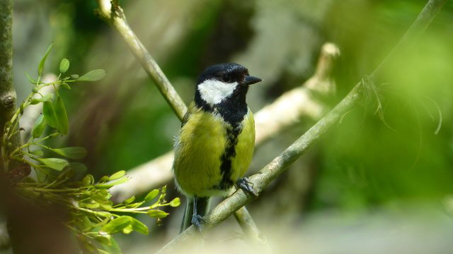 Great Tit near Tavistock, © Matthew Tosdevin, 17-24 Open Category Winner, Devon Nature and Landscape Photography Competition