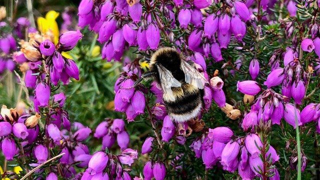 A Bee in the East Dartmoor Nature Area above Trendlebere Down, © Hannah Sophia Mulhauser, Under 16 Open Category Winner, Devon Nature and Landscape Photography Competition