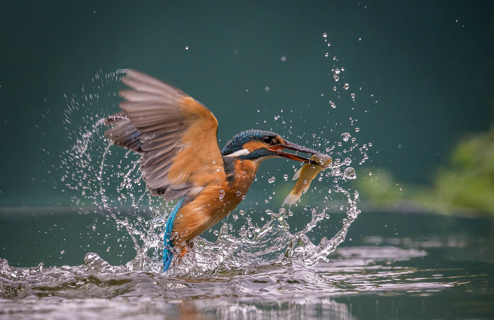 Female Kingfisher with Breakfast, © Dave Atkinson, 3rd place, Digital Camera Photographer of the Year