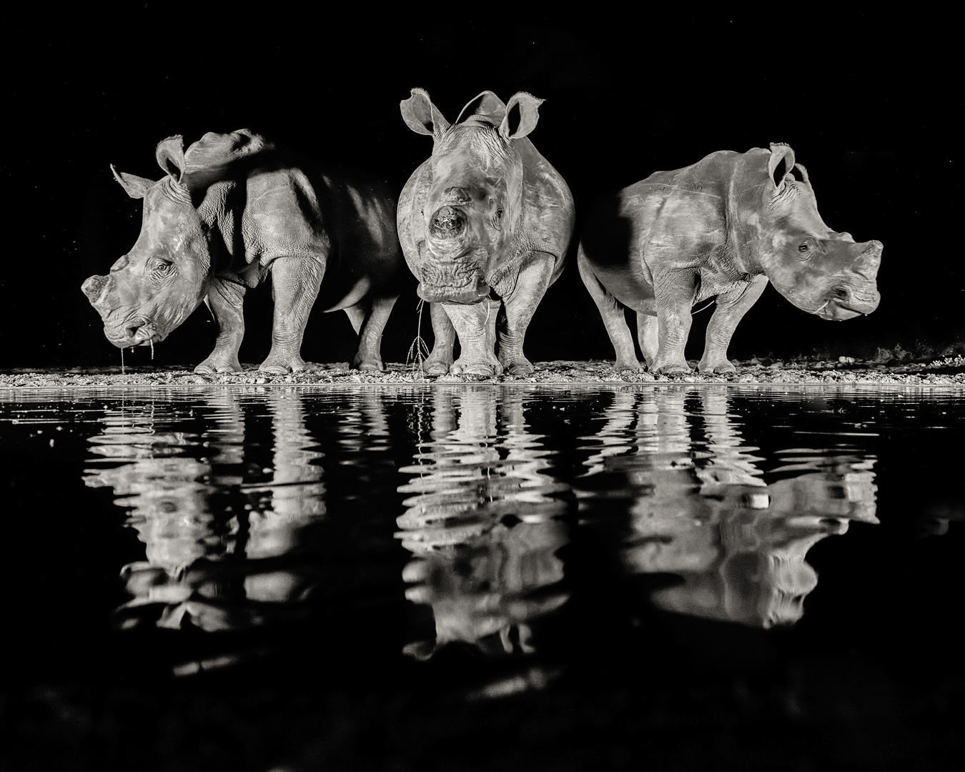 Three White Rhinos #2, © Alan Smith, 2nd place, Digital Camera Photographer of the Year