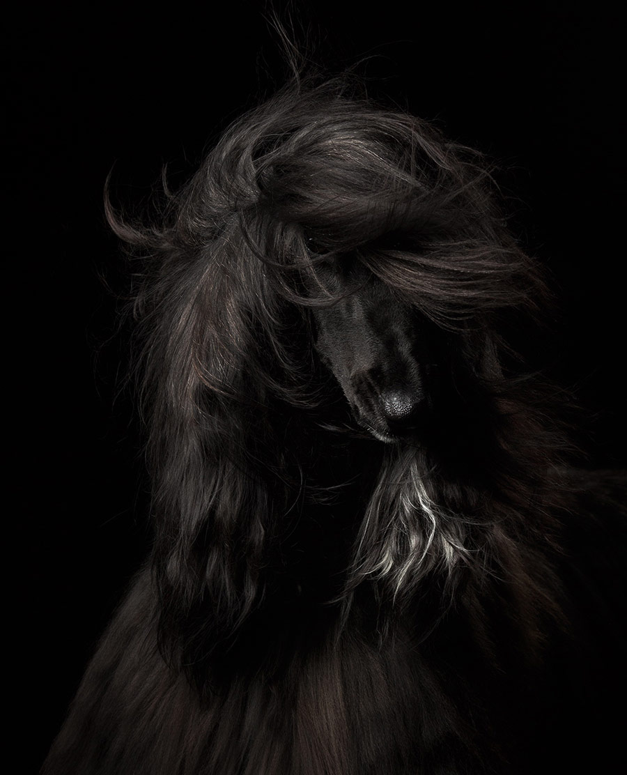 Black Beauty, © Anastasia Vetkovskaya, Russia, Dog Portrait 1st Place Winner, Dog Photographer of the Year