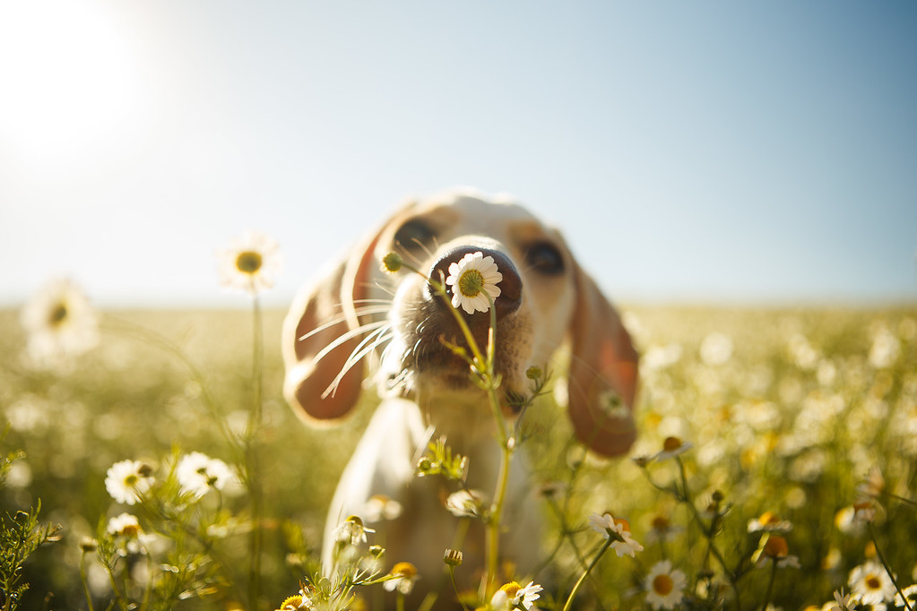 Chamomile fields forever, © Rodrigo Capuski ©, Brazil, Dogs at Play Category 2nd Place Winner, Dog Photographer of the Year