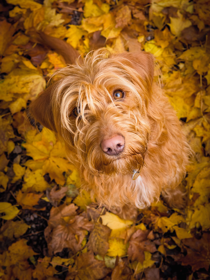 Bella in Autumn Leaves, © Noel Bennett, UK, Dog Portrait 3rd Place Winner, Dog Photographer of the Year