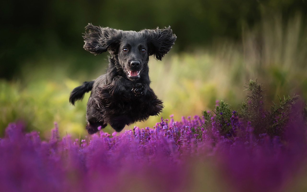 Black Velvet, © Alice Loder, United Kingdom, Judges' Special Mention Dogs at Play category, Dog Photographer of the Year
