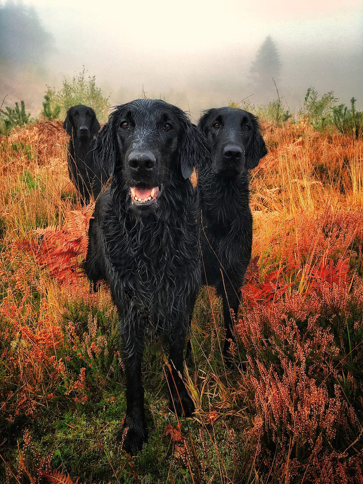 Glenturret Autumn Gold, © Carol Durrant, United Kingdom, Portrait 1st Place Winner, Dog Photographer of the Year
