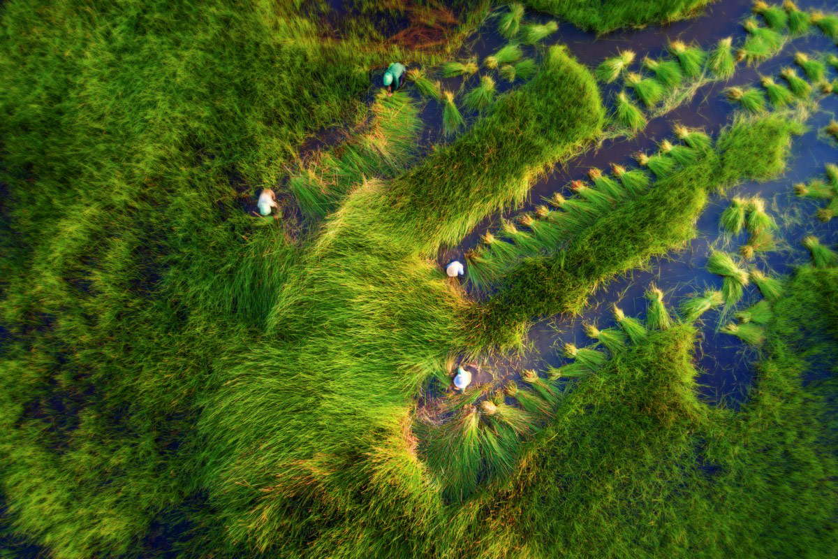 Harvesting grass, © Tuan Nguyen, Dronestagram Drone Photography Contest