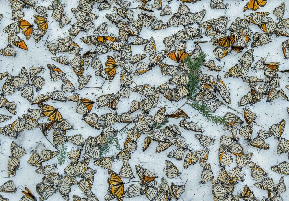 """Monarchs in the Snow"", © Jaime Rojo, Shortlisted, Environmental Photographer of the Year — EPOTY"