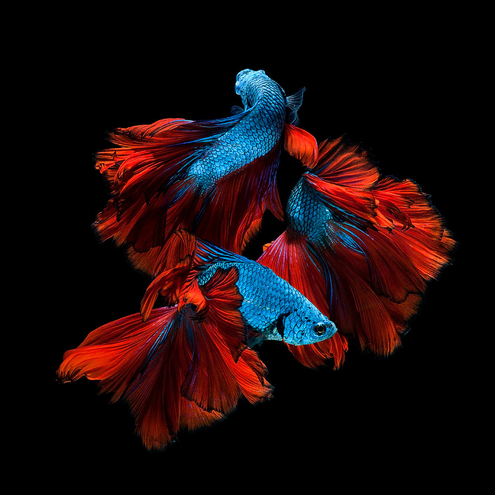 The Elegant of Siamese Fighting Fish, © Jirawat Plekhongthu, 1st Place Winner Wildlife/Animals professional, Fine Art Photography Awards