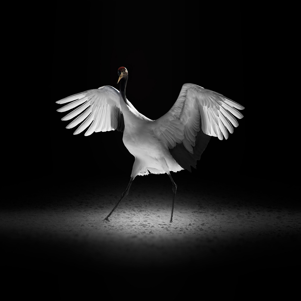 Red Crown Crane (Series), © Eriko Kaniwa, 1st Place, Wildlife/Animals: Professional, Fine Art Photography Awards 2017 Winners