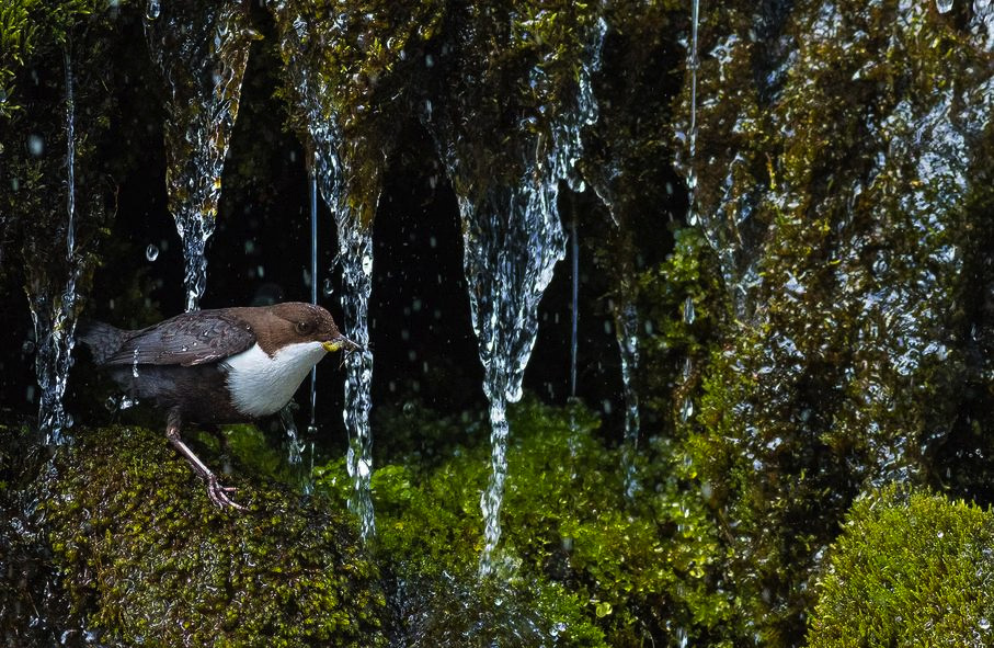 Dipper, © Simon Johnsen, 1st place in category Young Photographer 15 to 17 Years, GDT European Nature Photographer of the Year