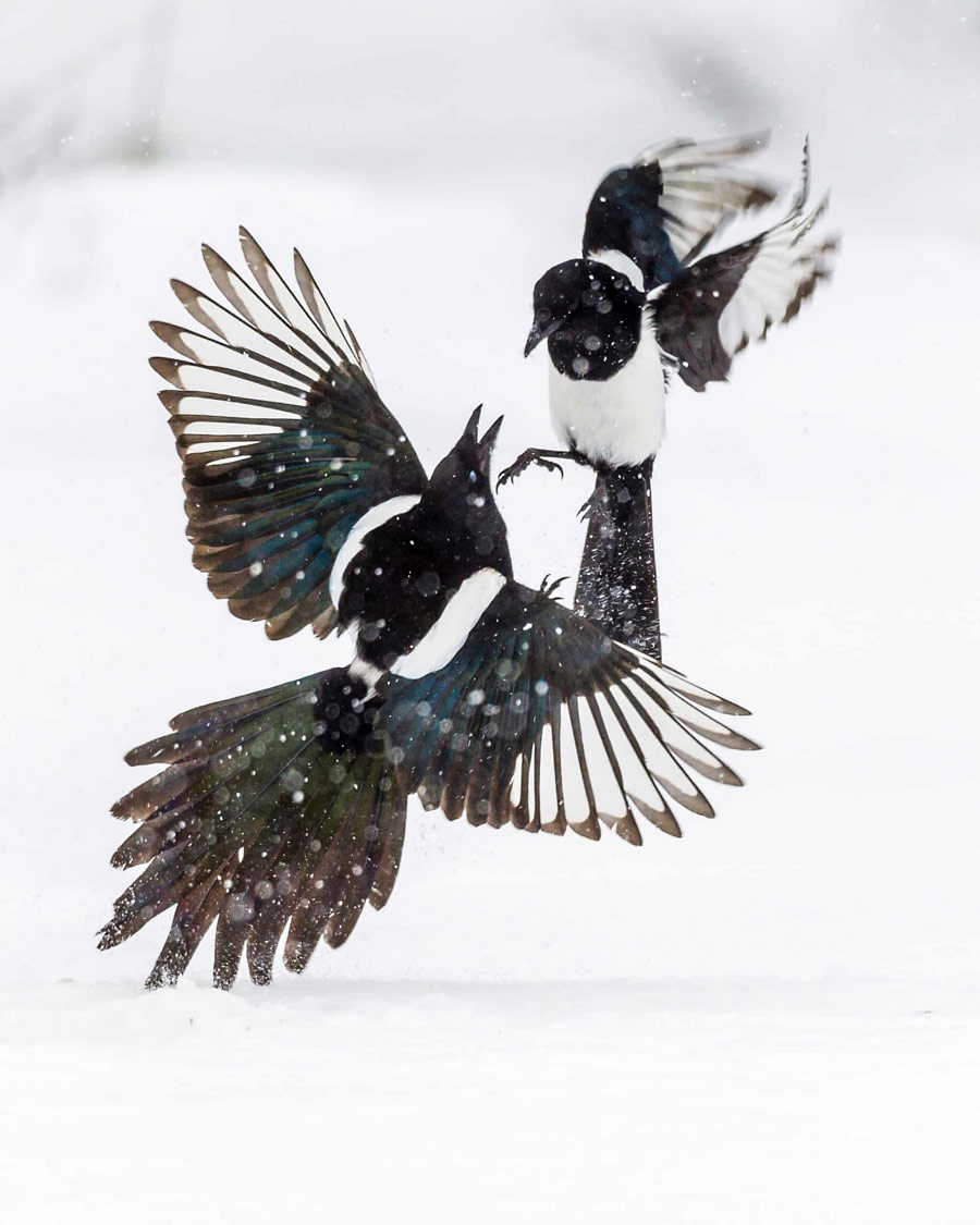 Fight of the Magpies, © Lasse Kurkela (FI), Winner Young Photographers to 14 years Category, GDT European Wildlife Photographer of the Year