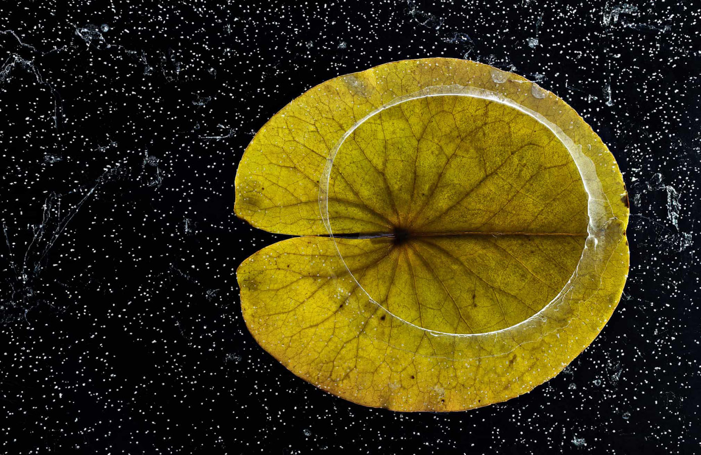 A Lily Pad in the First Ice, © Hannu Ahonen (FI), Winner Plants and Fungi Category, GDT European Wildlife Photographer of the Year