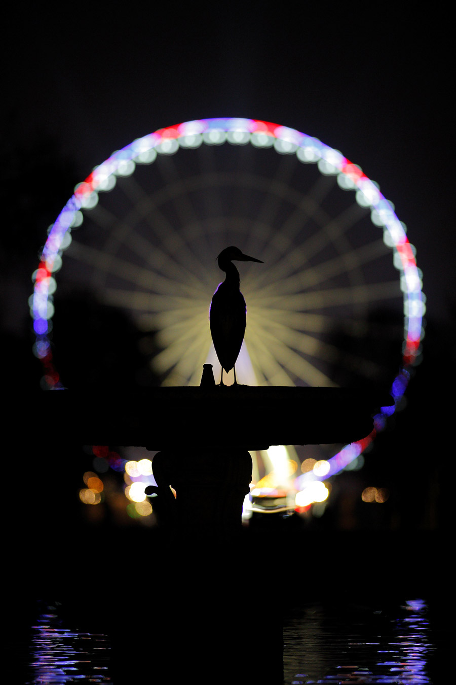 The Peacock of Paris, © Nathan Livartowski, Winner, Golden Turtle Photo Contest