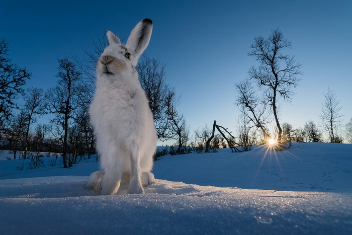 Sunset Hare, © Erlend Haarberg, Third Place, Golden Turtle Photo Contest