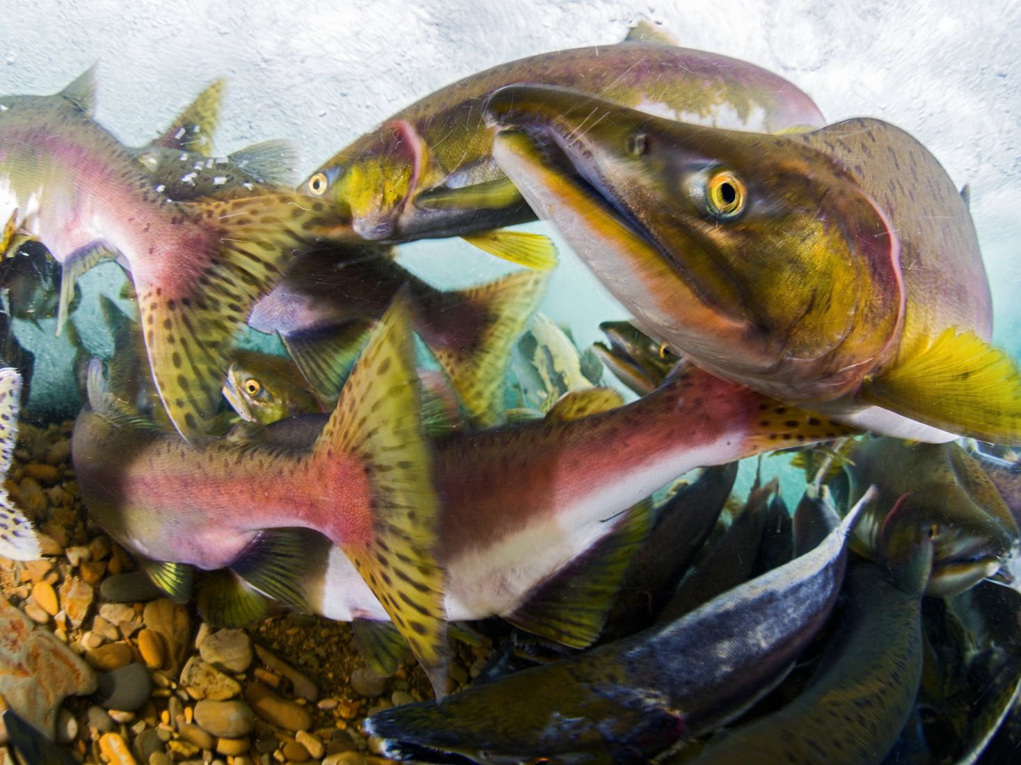 Spawning Salmon, © Sergey Shanin, Winner, Golden Turtle Photo Contest