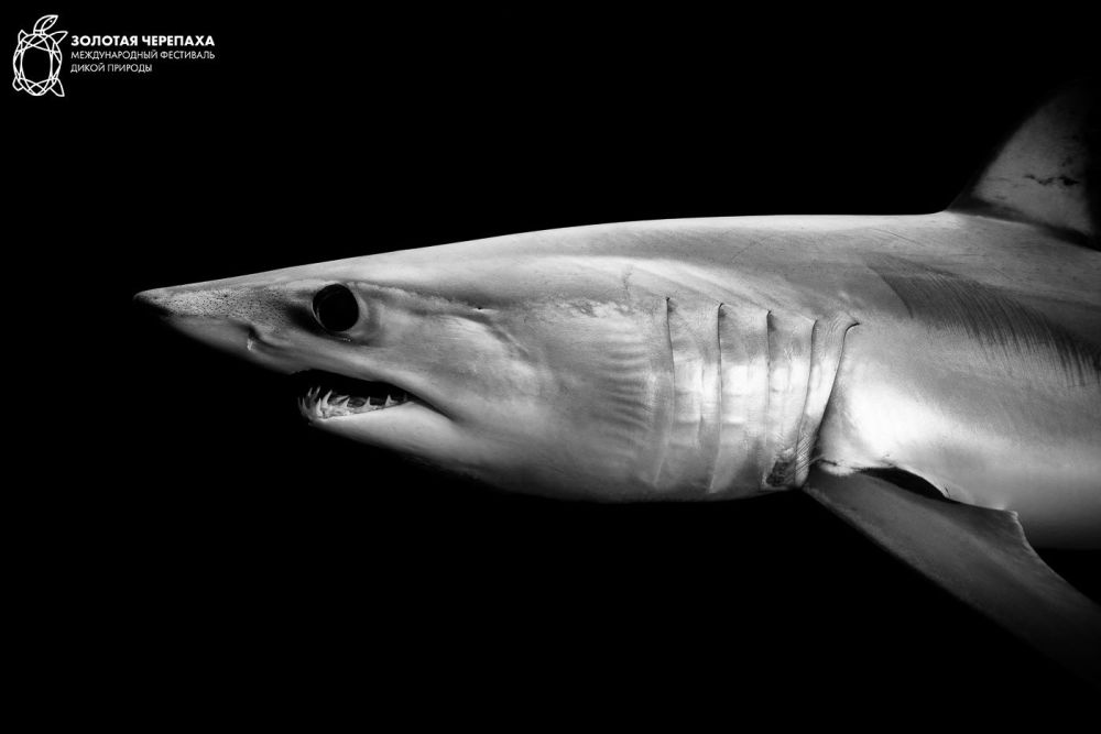 Mako Shark, © Romain Barats, Third Place, Golden Turtle Photo Contest
