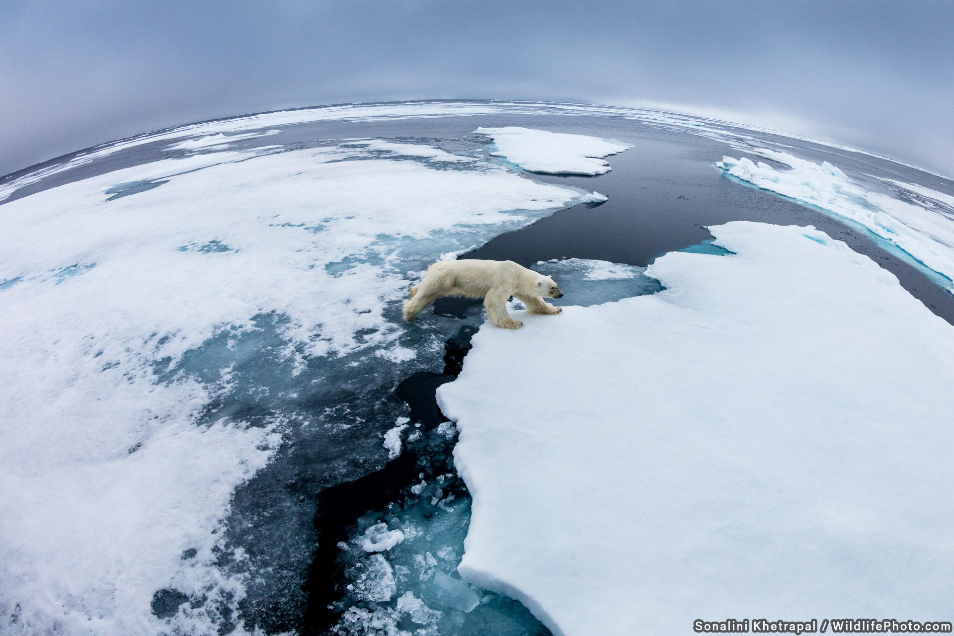 Floe Traveller, © Sonalini Khetrapal, Highly Commended, Habitats & Landscapes Photo Contest