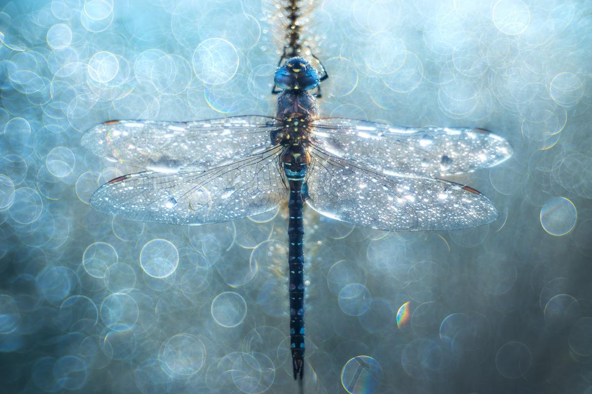 Dragonfly Delirium, © Petar Sabol, Croatia, «General — Colour» Category, 2st prize winner, Hamdan International Photography Award - HIPA