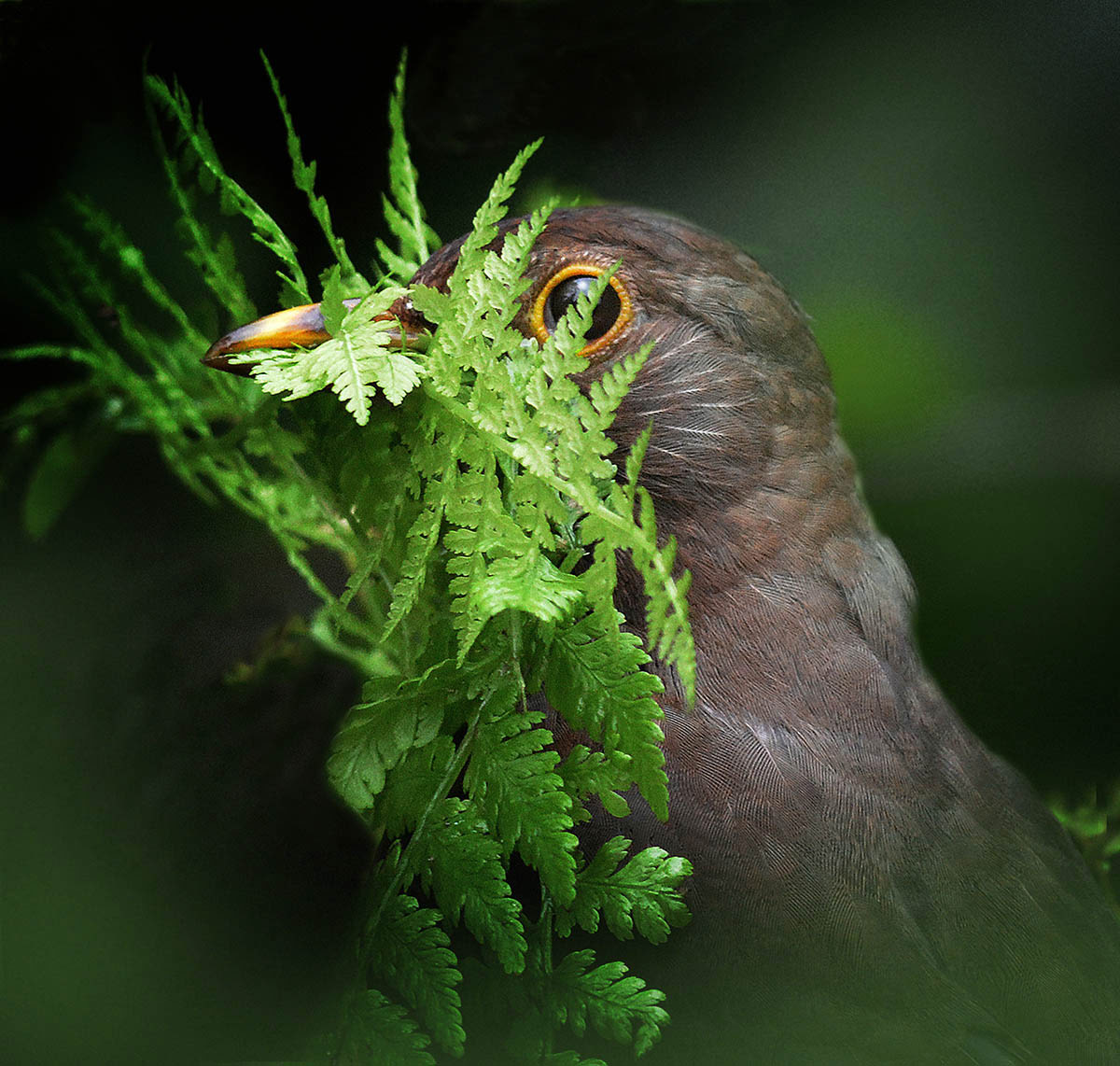 Female Blackbird, © Alan Price, 1st place, International Garden Photographer of the Year — IGPOTY