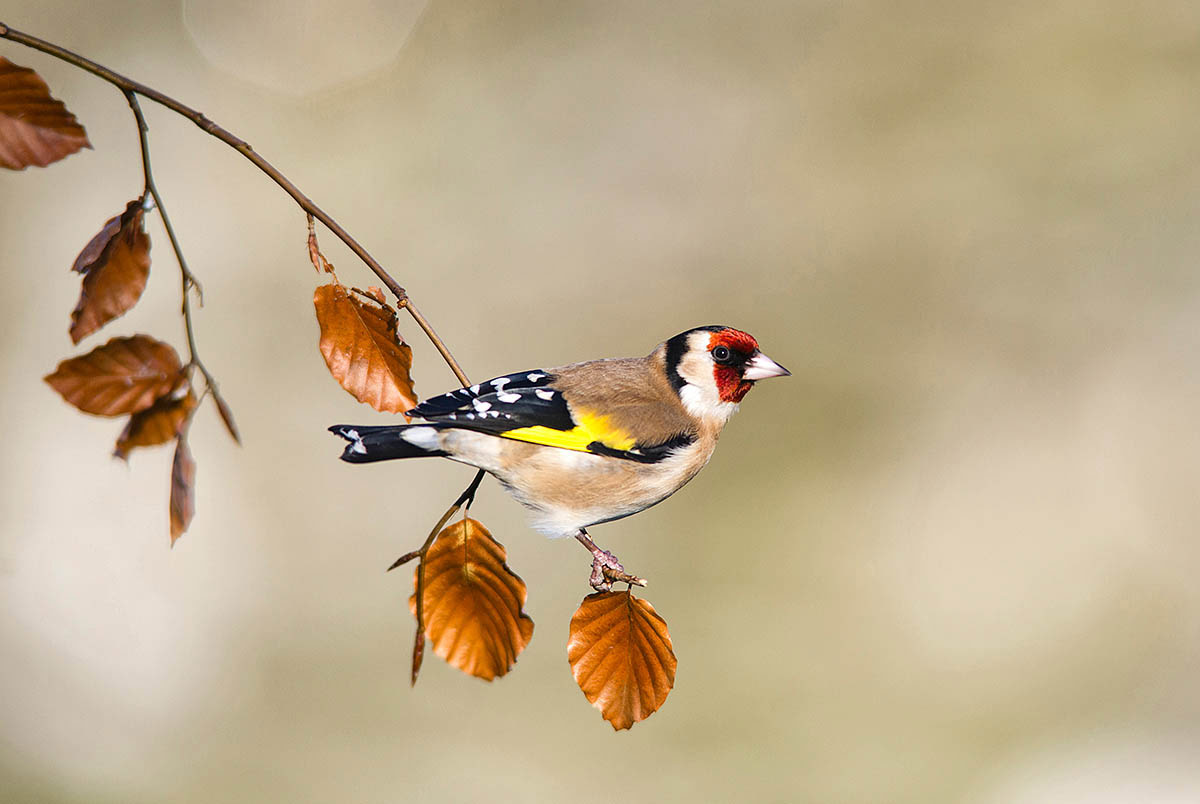 Goldfinch, © Jonathan Need, 3rd place, International Garden Photographer of the Year — IGPOTY