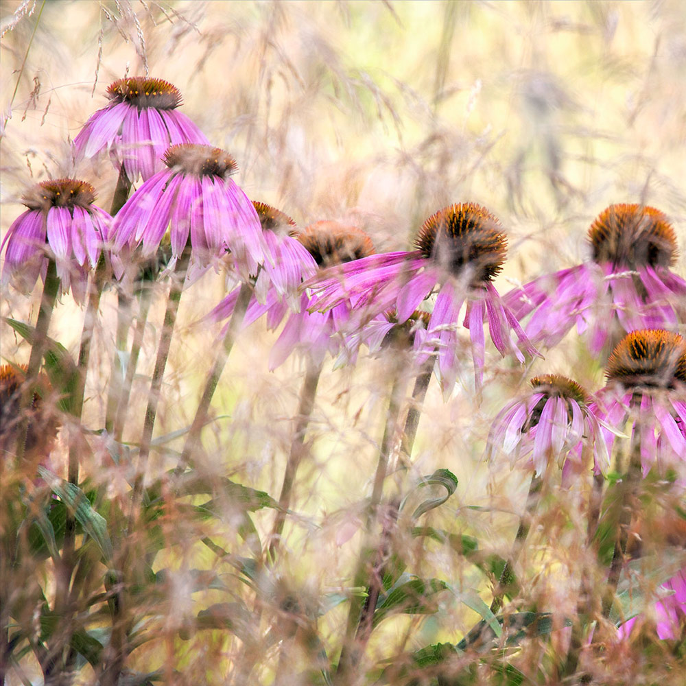 Echinacea, © Nigel Burkitt, 1st place, International Garden Photographer of the Year — IGPOTY