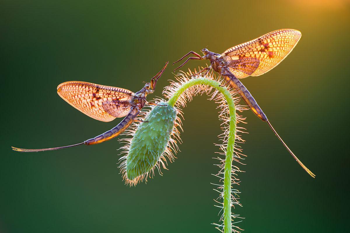 © Petar Sabol, Mayflies, International Garden Photographer of the Year — IGPOTY