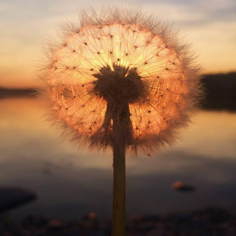 Dandelion sunset, © Sara Ronkainen, Finland, 1st Place – Sunset, IPPAWARDS - iPhone Photography Awards