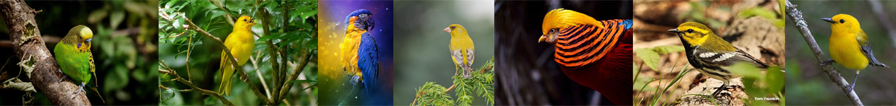 Mellow Yellow Photo Contest - KingBirder