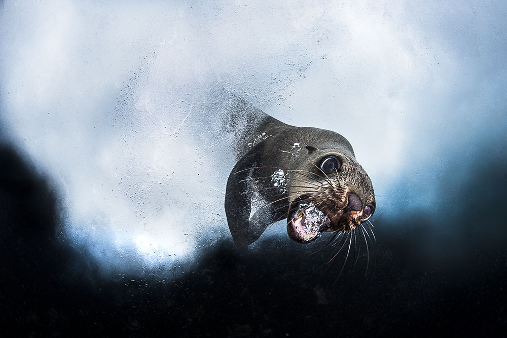 Cape Fur Seal, © Greg Lecoeur, France, Submerged World Winner, Memorial Maria Luisa Photography Contest