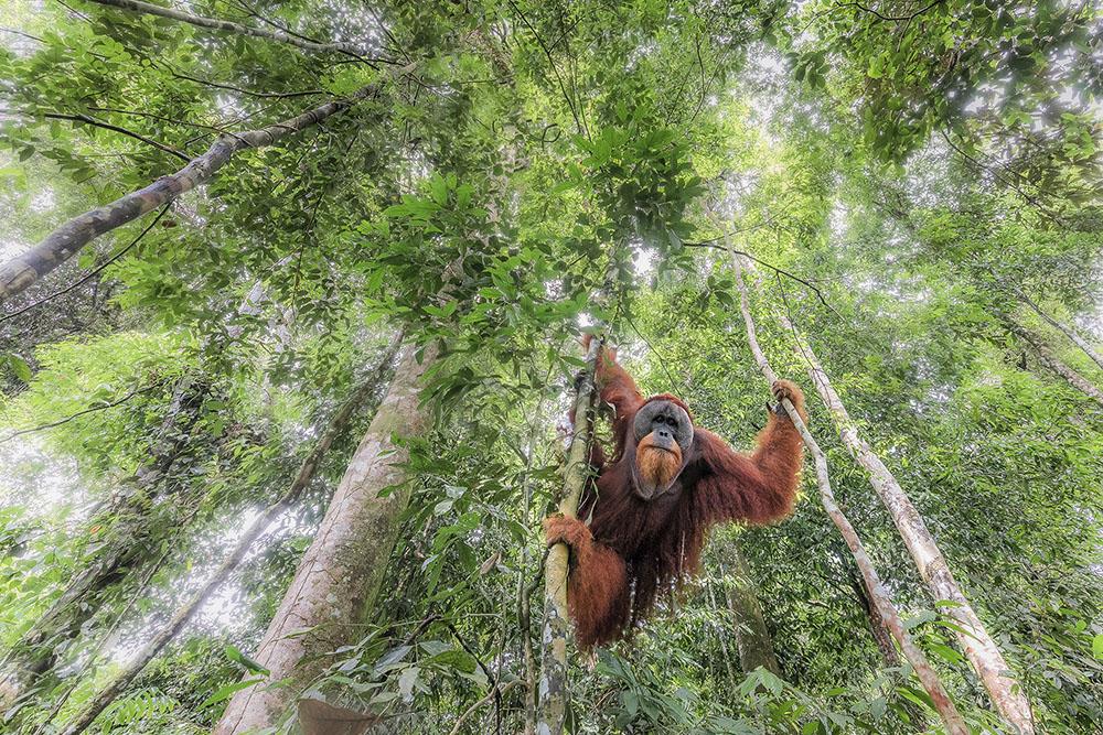 Wild Sumatran Orangutan, © Marco Gaiotti, Italy, Biodiversity Winner, Memorial Maria Luisa Photography Contest