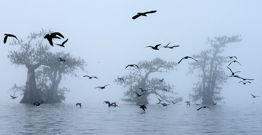 Cormorants And Fog, © Georg Popp, Austria, The World of Birds Winner, Memorial Maria Luisa Photography Contest