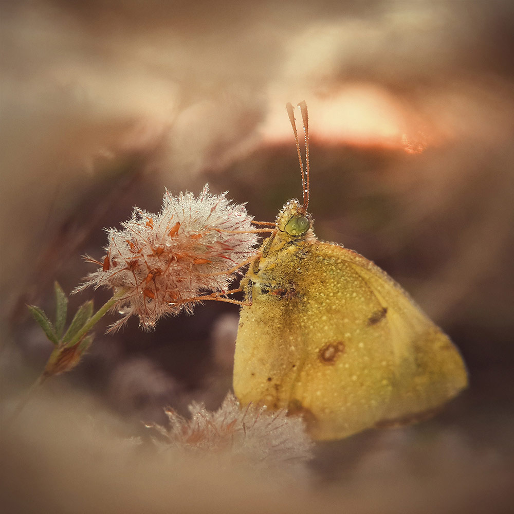 Morning Dream of a Butterfly, © Natalya Peshkova, 1st Place Macro & Details Winner, Mobile Photography Awards