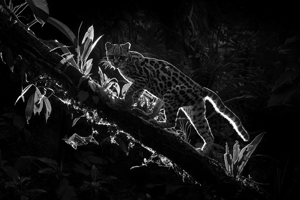Shadow Cat, © Dillon Anderson (New Zealand), 1st Place Winner - Wildlife Photographer of the Year 2018 (Professional), Monochrome Photography Awards