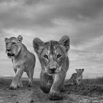 The Mara, © Anup Shah , UK, 1st Place — Black & White Nature, Black & White Series of the Year 2017, MonoVisions Photography Awards