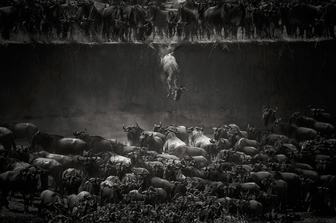 Leap of Faith ( Jump of the Wildebeest), © Nicole Cambre, Belgium, 1st Place - Black & White Nature And Wildlife Photo Of The Year 2017, MonoVisions Photography Awards