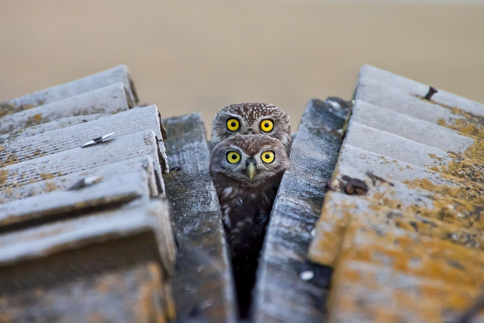 Four-eyed Owl, © Andrey Gilev, These Funny Animals Nomination, Most Beautiful Country Photo Contest