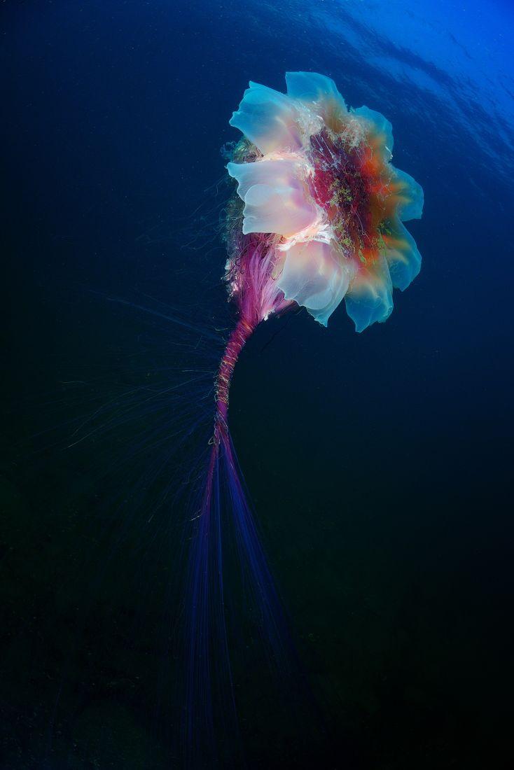 Underwater Flower Jellyfish, © Andrey Shpatak, Underwater World Nomination, Most Beautiful Country Photo Contest