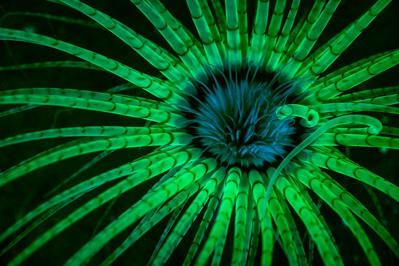 Fluorescent Anemone, © Jim Obester, 1st Place Winner, Underwater, National Geographic Nature Photographer of the Year Contest